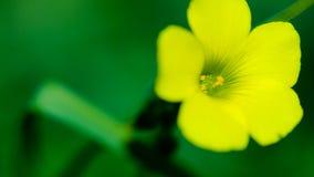 Желтое Woodsorrel Стоковое Изображение