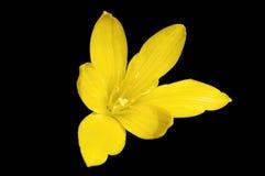 Желтое Zephyranthes Стоковые Фотографии RF