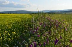 Желтые альфальфа и пшеничные поля цветка разделили wildflowers на холме стоковая фотография rf