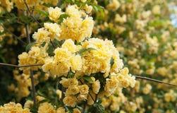 желтые взбираясь розовые цветки Стоковое фото RF