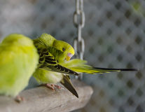 Желтые волнистые попугайчики Стоковая Фотография RF