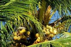 Желтые гайки кокосов на ладони Стоковое Изображение RF