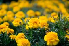 Желтые гвоздики Стоковое Изображение RF