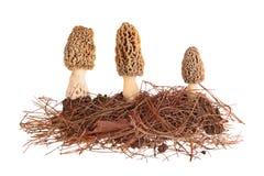 Желтые грибы сморчка и субстрат иглы сосны изолированный на whi Стоковые Изображения