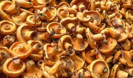 Желтые грибы Стоковые Изображения