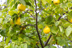 Желтые груши на дереве Стоковое Фото