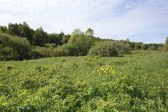 Желтые глобус-цветки на зеленом луге на крае утра ясности леса солнечного Стоковые Изображения