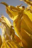 Желтые лепестки солнцецвета Стоковые Фотографии RF