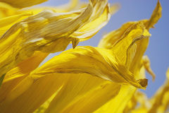 Желтые лепестки солнцецвета Стоковые Фото