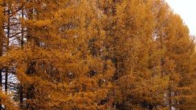 Желтые деревья лиственницы акции видеоматериалы