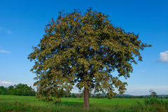 Желтые деревья и голубое небо. Стоковая Фотография RF