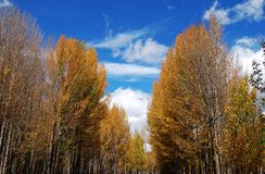 Желтые деревья Стоковая Фотография RF