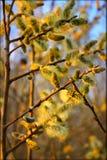 Желтые зацветая ветви вербы pussy Стоковая Фотография RF