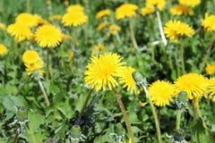 Желтые зацветая одуванчики стоковое изображение rf