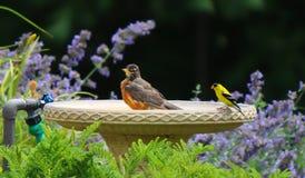 Желтые зяблик и Робин делят ванну Стоковое Фото