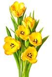 Желтые изолированные цветки тюльпана букета тюльпанов Стоковые Изображения