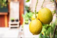 Желтые лимоны Стоковая Фотография RF