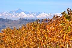 Желтые листья виноградины в Пьемонте, Италии. Стоковые Фото
