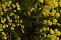 Желтые листья мимозы и зеленого цвета Стоковое Изображение