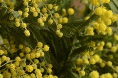 Желтые листья мимозы и зеленого цвета Стоковые Изображения
