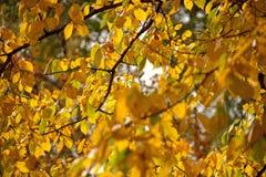 Желтые листья на осине стоковое фото rf