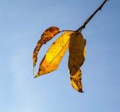 Желтые листья осени вися на дереве березы Стоковое Изображение RF