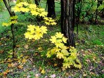 Желтые листья осени вися от дерева стоковое изображение