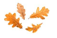 Желтые листья осени на белой предпосылке Стоковая Фотография RF