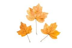 Желтые листья осени на белой предпосылке Стоковая Фотография