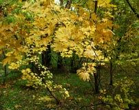 Желтые листья осени от дерева стоковое изображение