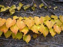 Желтые листья Стоковое Изображение