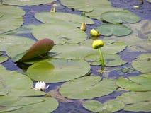 Желтые и белые лилии Стоковое фото RF