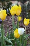 Желтые и белые тюльпаны весной Стоковое Фото