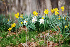 Желтые и белые daffodils в поле Стоковые Фотографии RF