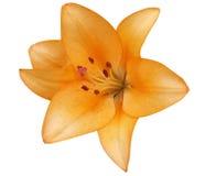 Желтые лилии в цветнике в летнем дне Стоковое Фото