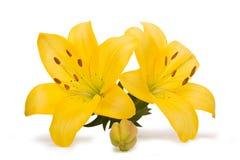 Желтые лилии изолированные на белой предпосылке Стоковая Фотография RF