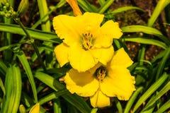 Желтые лилии дня Стоковая Фотография RF