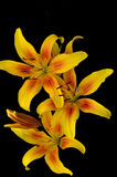 Желтые лилии Стоковое Изображение