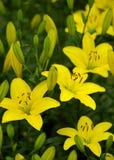 Желтые лилии Стоковое Фото