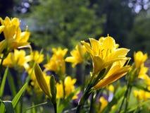 Желтые лилии Стоковое Изображение RF