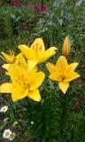 Желтые лилии Стоковое фото RF