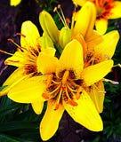 Желтые лилии Стоковая Фотография