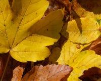 Желтые и коричневые листья Стоковые Изображения RF