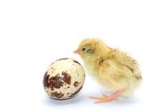 Желтые и коричневые триперстки младенца Стоковая Фотография