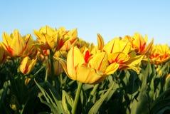 Желтые и красные тюльпаны на небе стоковые изображения rf