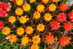 Желтые и красные цветки кактуса в баках на кактусе ходят по магазинам в рынке цветков Стоковое Изображение RF