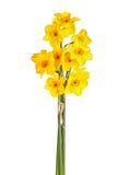 Желтые и оранжевые цветки изолированного daffodil tazetta Стоковые Изображения RF