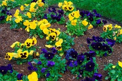 Желтые и синие pansies в большом flowerbed стоковые изображения