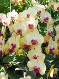 Желтые и фиолетовые орхидеи /Tropical орхидей стоковое фото rf