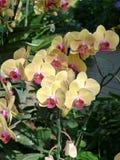Желтые и фиолетовые орхидеи /Tropical орхидей стоковая фотография